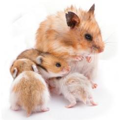 چه محیطی ( از لحاظ دما و ... ) برای نگهداری همستر مناسب هست ؟