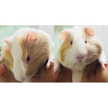 واگذاری یک سر خوکچه هندی نر به نام برفی