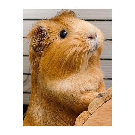 من خوکچه هندی را بیشتر بشناسید