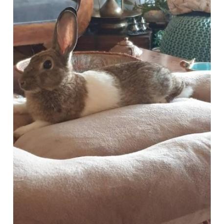 واگذاری یک سر خرگوش نر