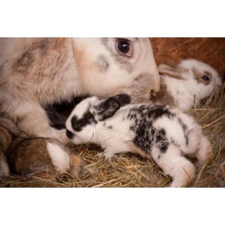 بارداری تا تولد خرگوش شکلان