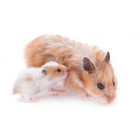 بارداری و زایمان همستر ها