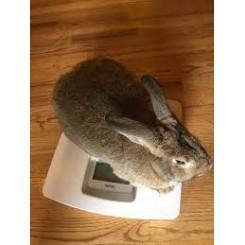 وزن نرمال در خرگوش شکلان