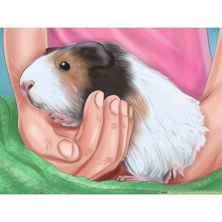 روش صحیح به آغوش کشیدن خوکچه هندیها