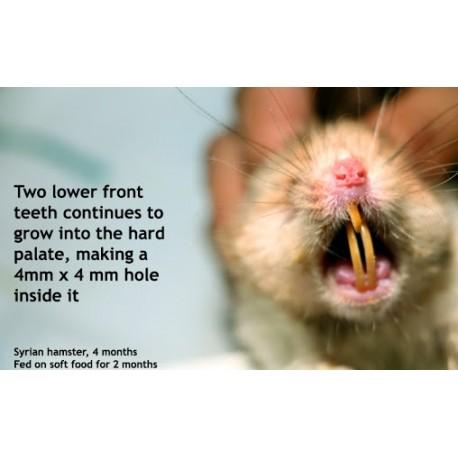 بلندی دندانها در همسترها