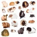 انواع خوکچه هندی